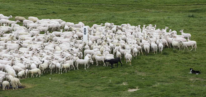 Why do sheep all face the same way in a field?