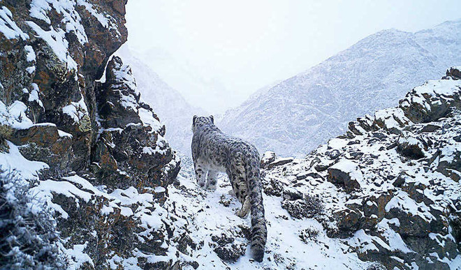 Endangered Snow Leopards In Peril