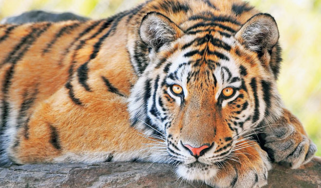 Poaching Threat: 76 Tigers Dead This Year