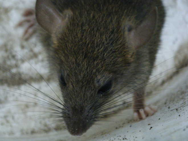 Rats Aid Their Furry Friends