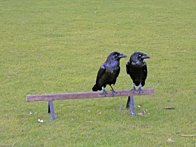 Crows Use Tools Too