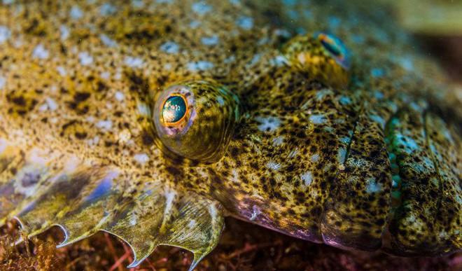 Why Flatfish Grow Into Wonkiest Animals