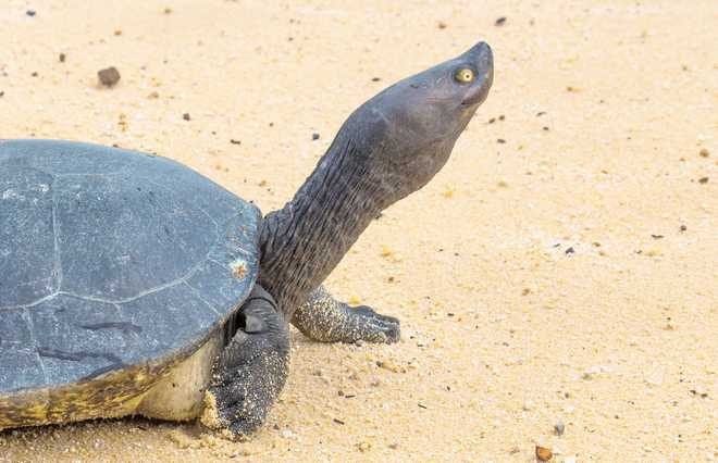Cambodia's Last Royal Turtles On Verge Of Extinction