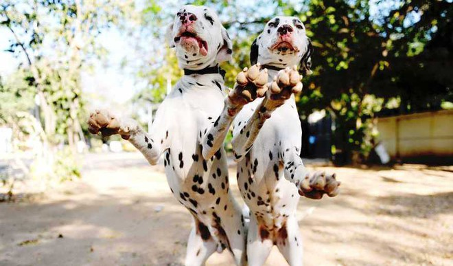 Dogs Were Domesticated Twice: Study