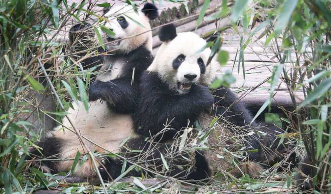 How Climate Change Threatens Panda Conservation