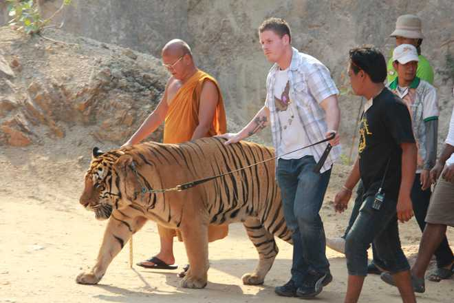 Tiger Temple Of Thailand Shuts Down
