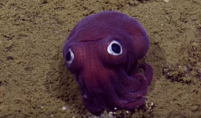 This Googly-Eyed Stubby Squid Is Real