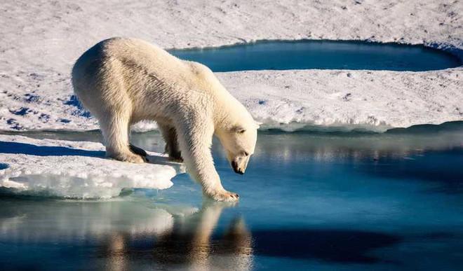 Loss Of Sea Ice- Threat To Polar Bears