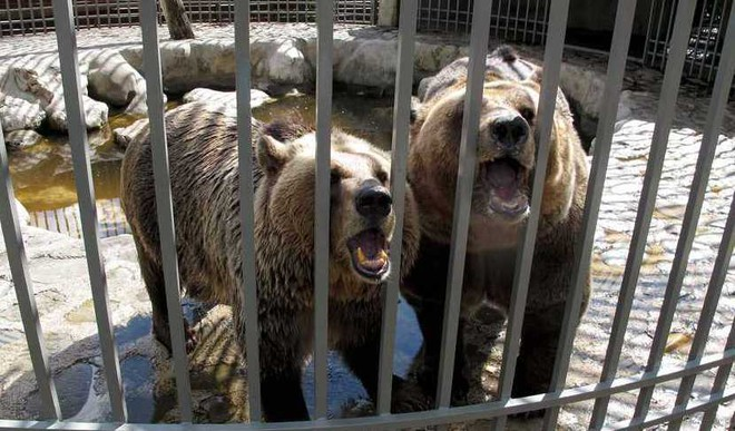 Albania To Free Chained Bears