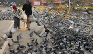 Why You Should Not Feed The Pigeons