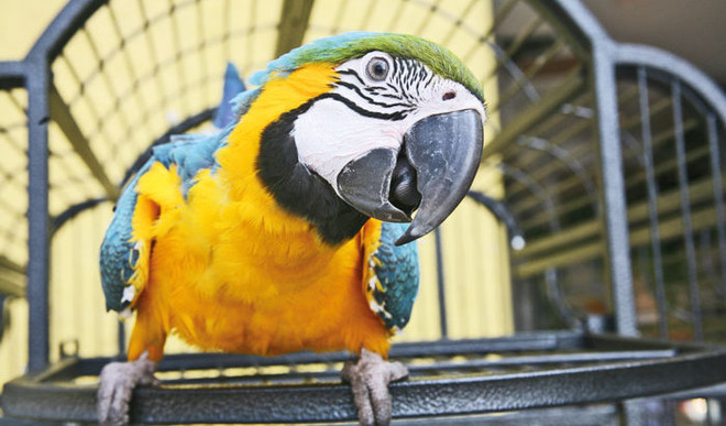 Caged Parrots Smarter Than We Think