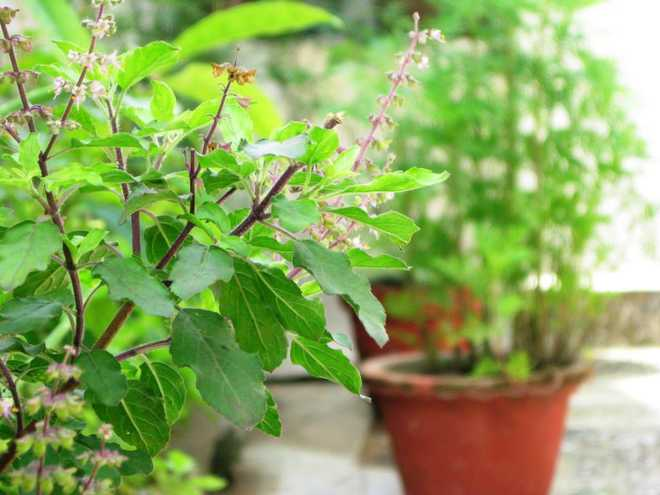 Tulsi Plant Can Predict Future