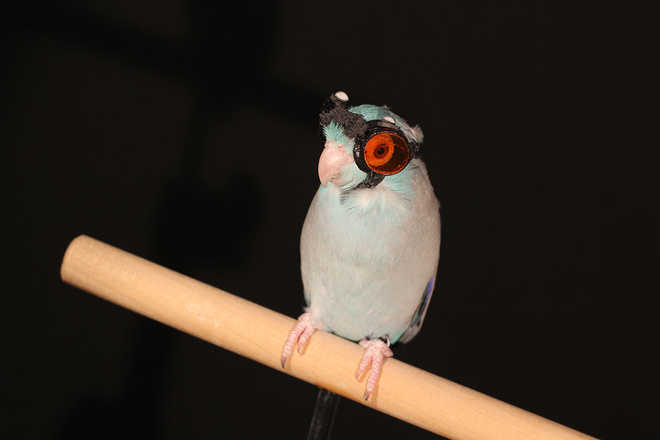 Parrot wearing Goggles may help Us Build Robots that Fly more Efficiently