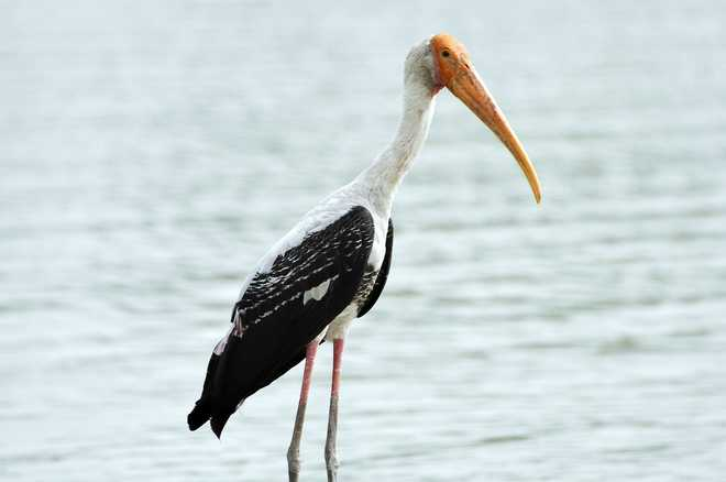Painted Stork Is Bird Of The Day At Nagpur