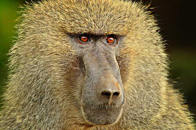 Baboon barks and grunts contain clues to the origins of language