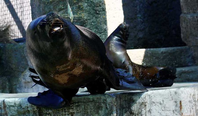 Sea Lion Taught To Keep A Beat