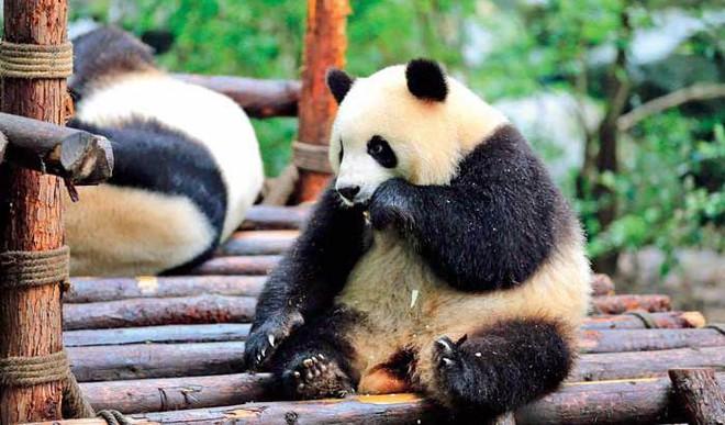 Decoded: China's 'Panda Diplomacy'