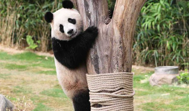 How Many Times Can A Panda Fall?