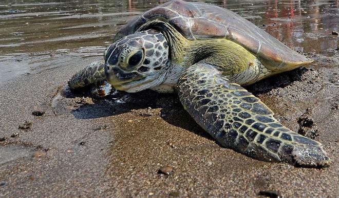 Green Turtles On Verge Of Extinction
