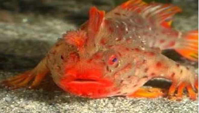 New Population Of 'Walking Fish' Found