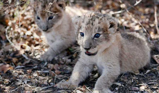 Lion Cubs Conceived Artificially!