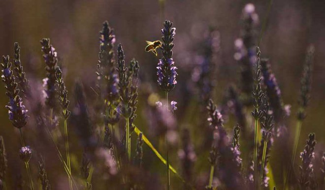 How Smell Of Lavender Helps You Unwind