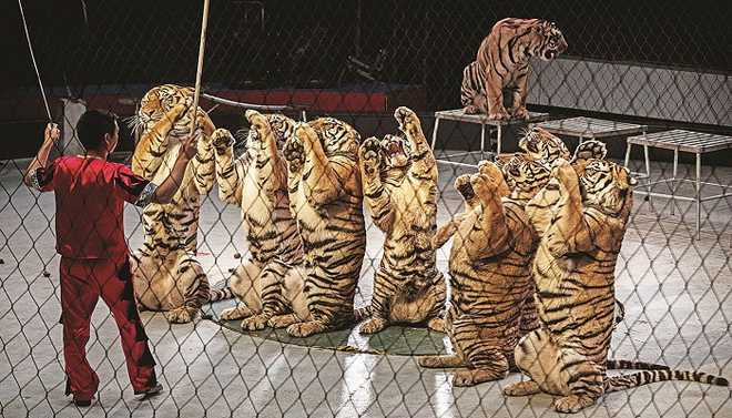 Do You Support The Government's Proposal To Ban Animals In Circuses?