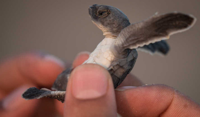 Study Finds Microplastics All Sea Turtle Species