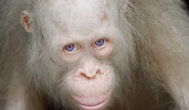 Meet The Only Albino Orangutan In The World