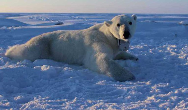 Why Are Polar Bears Losing Weight?