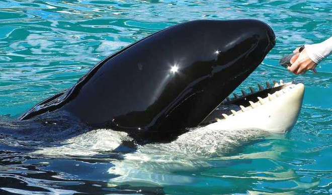 This Killer Whale Can Talk And Count?
