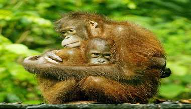 Orangutans Dying Due To Habitat Loss