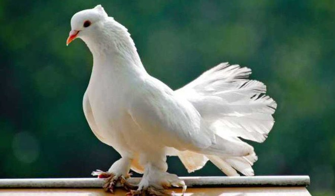 Masakkali Magic: Pigeons Could Help Tackle Diseases