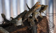 Study Tracks Lizard Bipedal-ism
