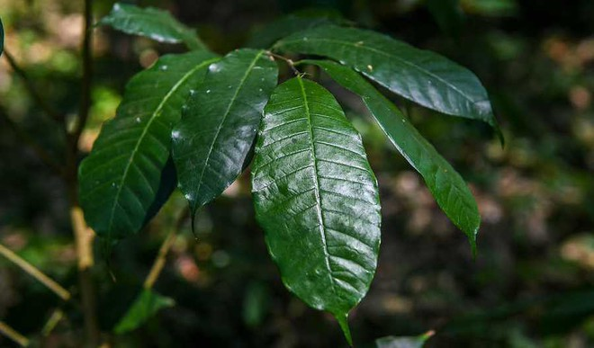Latin America's Magic Tree