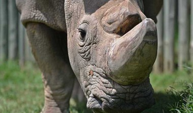 Sudan, The White Rhino Passes Away