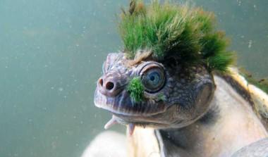 Australia 'Punk' Turtle