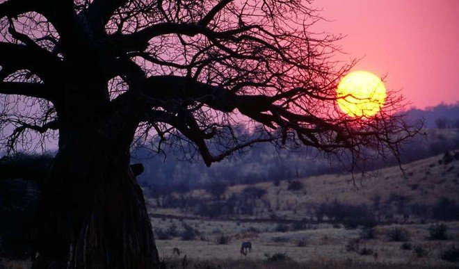 Africa's Oldest Baobabs Are Dying