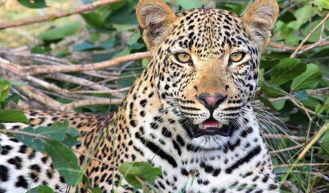 Here's Why 34 Leopards Die Each Year In Rajasthan