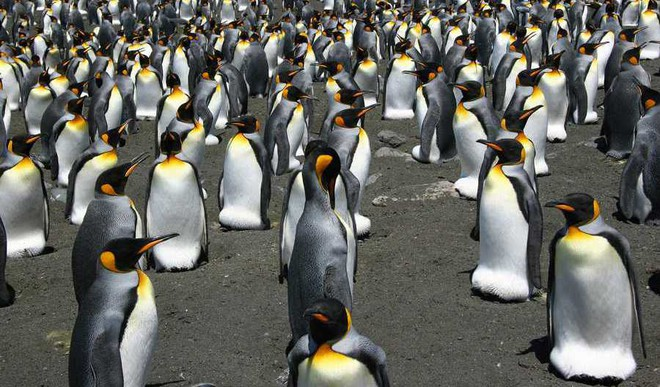 Largest Colony Of King Penguins Shrinks By 90%