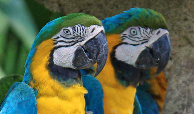 The Curious Case Of Blushing Macaws
