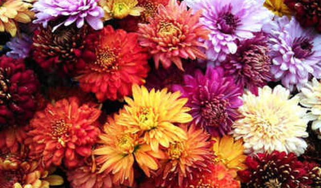 Mums The Word For Gardening