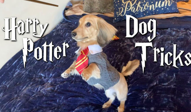 A Dog Trained In Harry Potter Spells Goes Viral