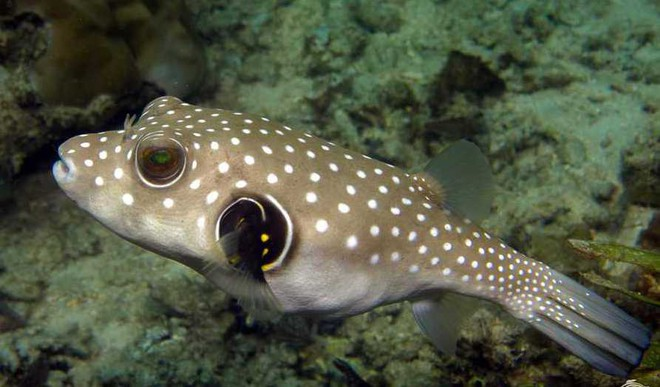Climate Change Is Creating Hybrid Puffer Fish