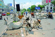 Do You Support The UP Government's Move To Impose 'Cow Cess' To Protect Stray Cattle?