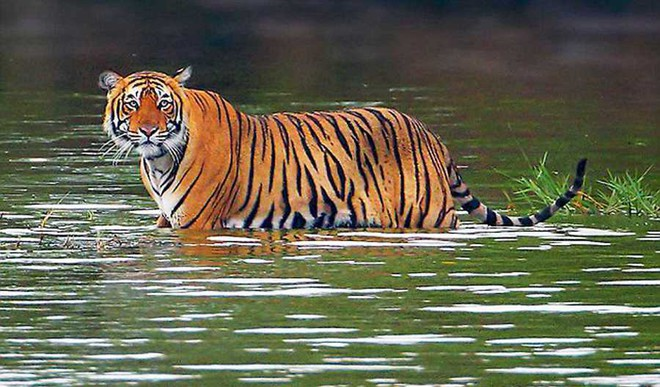 Ranthambore Tigers Look For New Homes