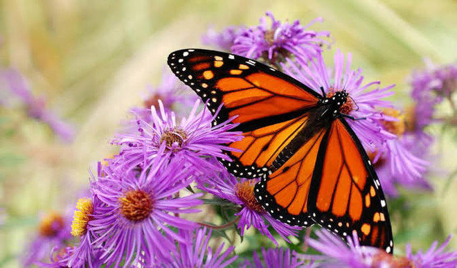 Rare Butterfly Species Going Extinct