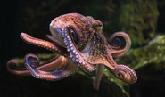 Color-Changing Octopus Fascinates Netizens