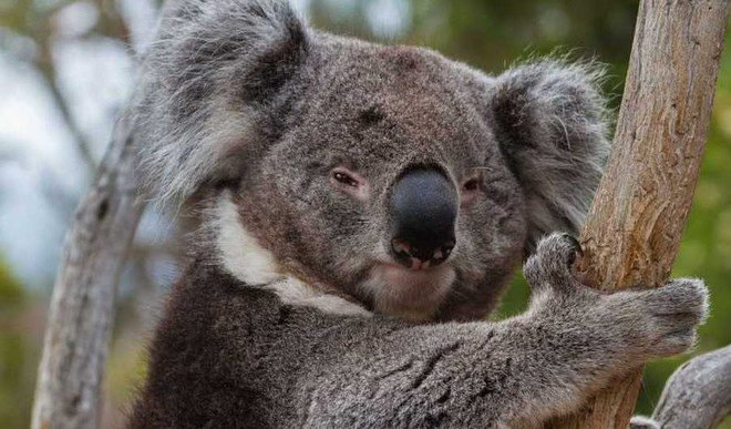 Viral: Woman Saves A Burnt Koala