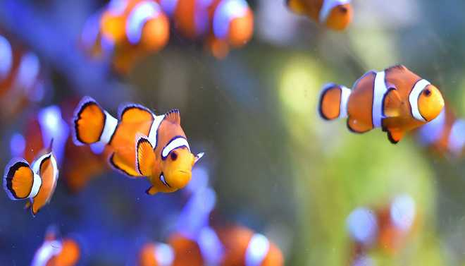'Nemo' May Not Adapt To Climate Change